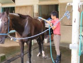 練習後の馬の手入れ